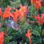 Hummingbird looking for nectar12