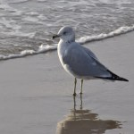 Seagull with wave12