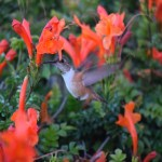 Thirsty hummingbird12