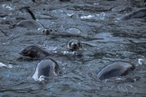 Fur seals learning to swim in