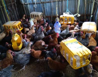 Prisca John's Poultry Flock