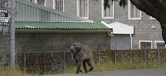 Baboon Capetown