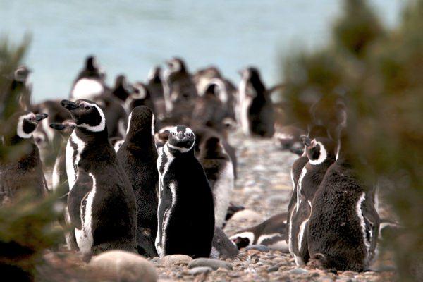 Penguins On Beach
