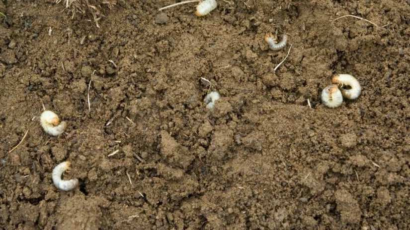 clean-the-grubs-from-your-garden-manually