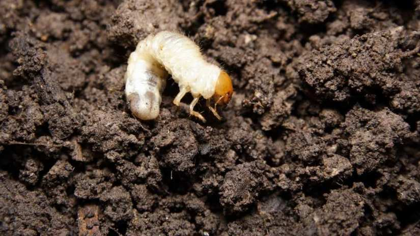 how-to-get-rid-of-grubs-in-the-vegetable-garden-naturally