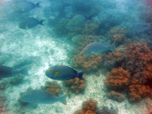 Tropical fish in the Great Barrier Reef off Green Island, Queensland, Australia.