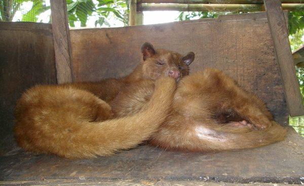 Coffee Kopi Luwak Bali Civets Kopi Luwak