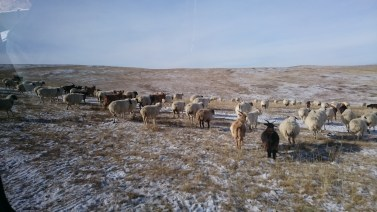 Can you see the fed tail of the sheeps? This is why Mongolians are so clever. They use this as dummys as babies!