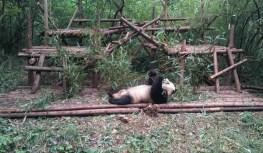 Enjoying bamboo while laying on the back