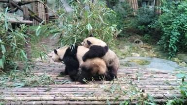 Performing pandas!