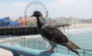 Pigeon posing at the Santa Monica Pier, California