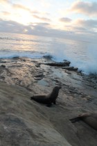 Sunset sea lion watching the waves crash
