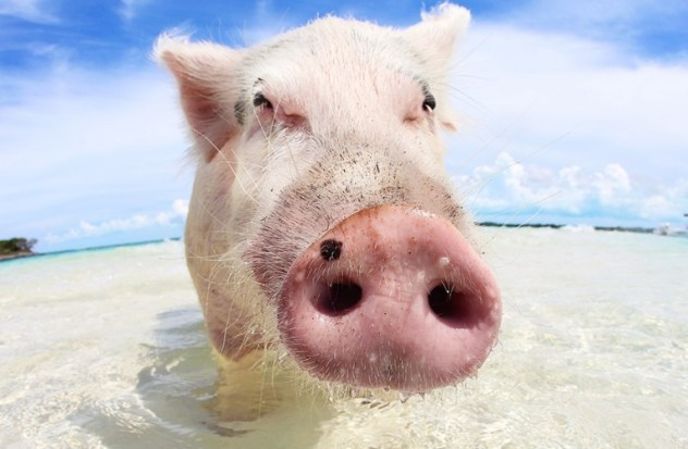 pig swimming on beach towards camera making its snout look big