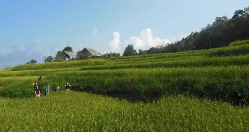Chiang Mai rice field