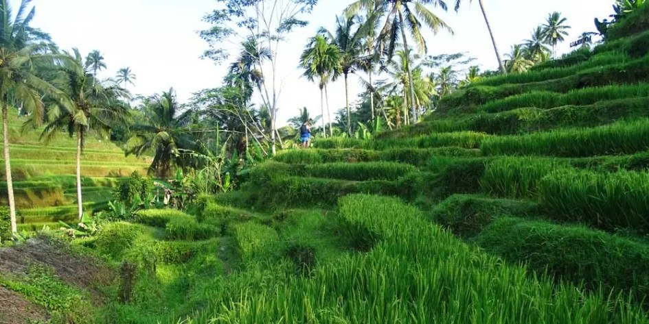 Ubud bike tour of rice fields
