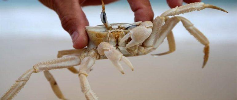 krabbe_1