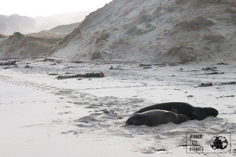 sea lions at sandfly bay dunedin