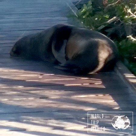 kaikoura fur seal