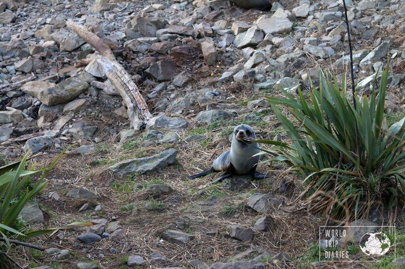 fur seal pup in Kaikoura