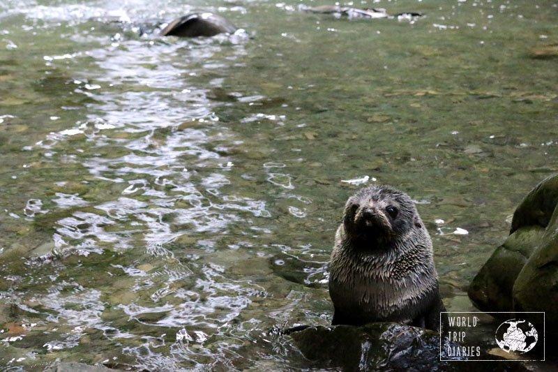 fur seal pup at ohau stream