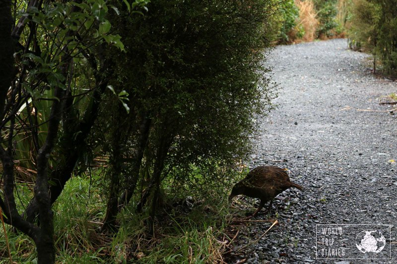 weka at milford sound