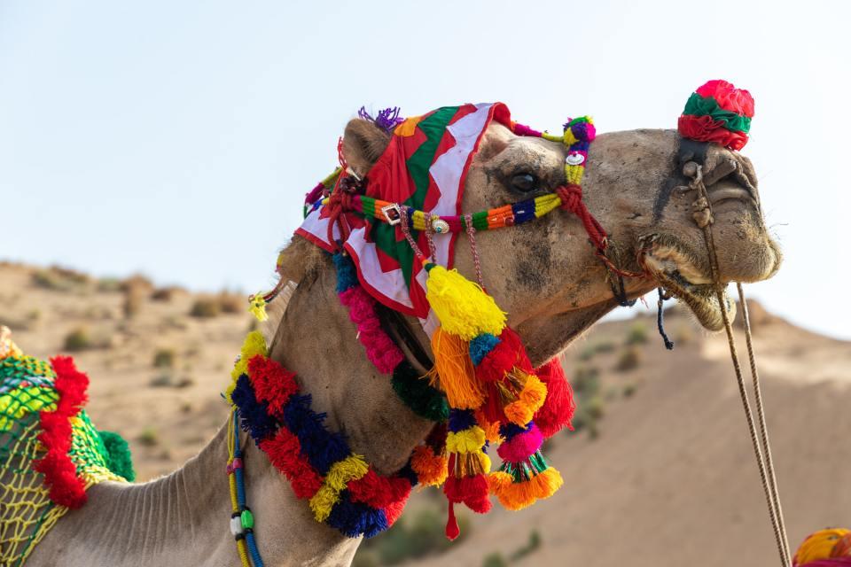 Camel in Udaipur