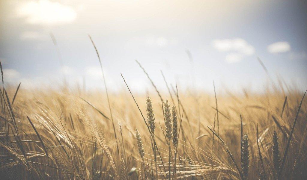 wheat, wheat crops, barley-1845835.jpg