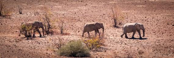 Desert elephants in Palmwag