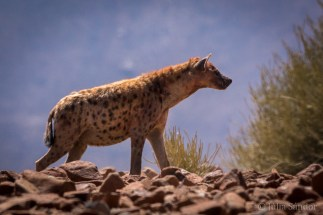Our first hyena sighting - and that in the middle of the day!