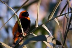 Little bird at the Oranje River