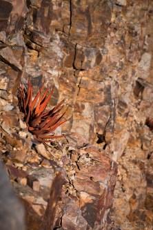 Fish River Canyon: Aloe on the rocks