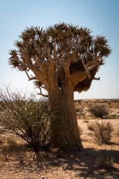 Weaver birds nest covering the tree