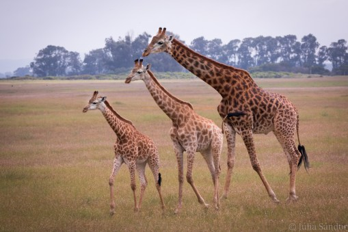 Giraffes like organ pipes