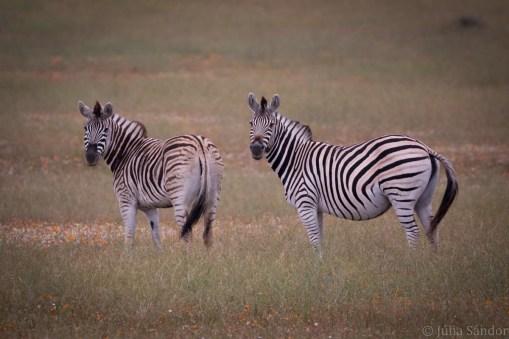 Curious zebras