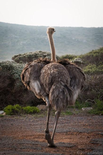 Drunken ostrich