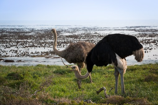 Ostriches on the beach