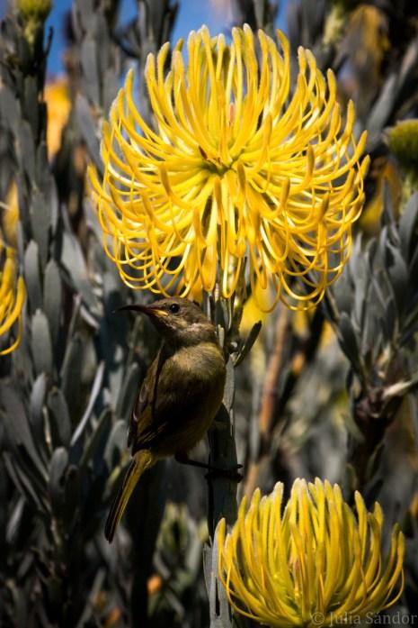 Sunbird enjoying Spring