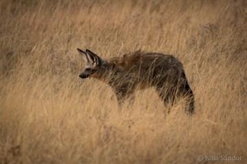 Bat eared fox in the savannah