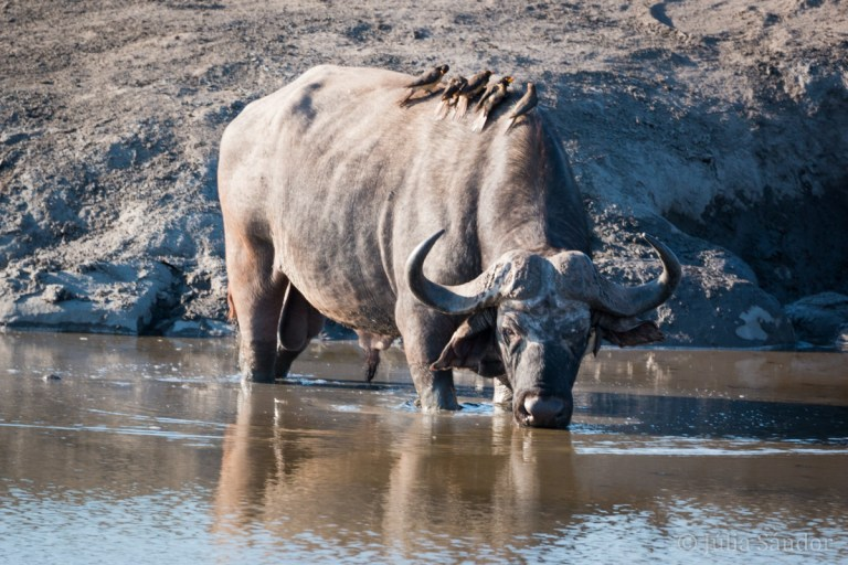 The Big 5 of Africa: Buffalo drinking