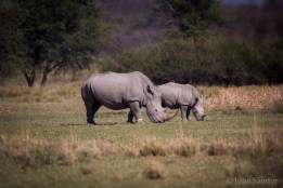 Botswana, whito rhinos