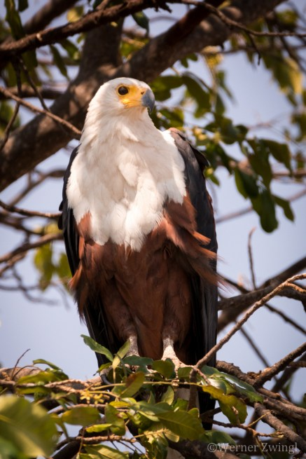 Fish eagle scanning the area for prey