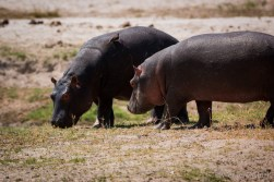 Hippo babies grazing (each the size of a Trabant)