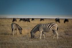 Etosha zebras