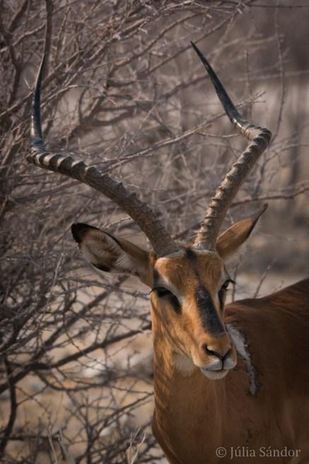 Impala bock
