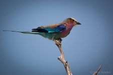 Lilac breasted Roller - colourful bird in Moremi, Botswana