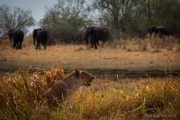 Botswana, Moremi, lion and elephants