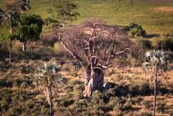 Botswana, Okavango delta baobab tree