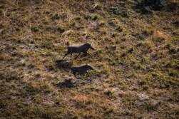 Warthogs fleeing