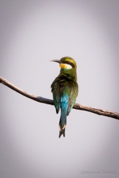Bee eater on the branch
