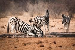 Zebras drinking (hopefully)